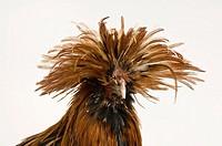 A golden Polish chicken.