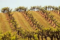 Rows of grapevines growing across the rolling hills in California.