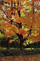 Sugar maple Acer saccharum tree with its fall colors.