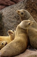 California Sea Lions, Gulf of California, Mexico.