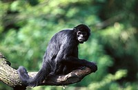 Black-headed Spider Monkey (Ateles fusciceps)