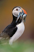 Atlantic Puffin (Fratercula arctica) with fish. Skokholm island, Wales, UK