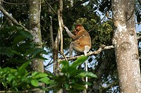 Proboscis Monkey female and baby in the rain forest in Borneo.