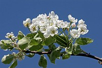 White plum tree blossom against blue sky