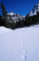 Canada, Alberta, Canadian Rockies, bear tracks in snow