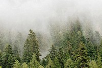 Mist over temperate Rainforest, Princess Royal Island, British Columbia, Canada