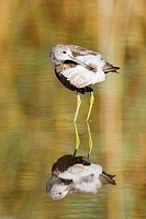 Greenshank's toilette
