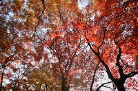 Maple acer trees in autumn, view from below