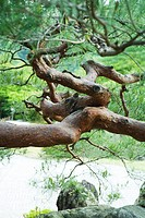 Tree branches in twisted formation, close-up