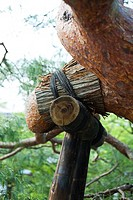 Tree branch with bamboo support, close-up
