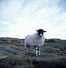Single sheep on rock