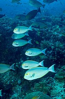 Shoal of elongate surgeon fishes ( Acanthurus mata). Komodo National Park