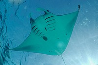 Manta ray (Manta birostris), Komodo National Park