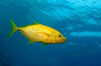 Orangespotted trevally (Carangoides bajad), a singular species, location, Komodo National Park
