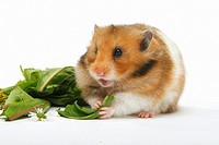 golden hamster _ munching / Mesocricetus auratus restrictions: Tierratgeber_Bücher / animal guidebooks