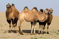 China, Xinjiang, camels