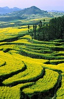Canola fields, Luoping, Yunnan, China