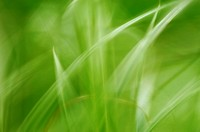 Blade of grass, close_up