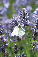 Purple Salvia with butterfly on flowers