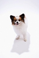 Papillon dog on white background, looking at camera