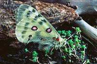 Apollon Butterfly (Parnassius apollo)