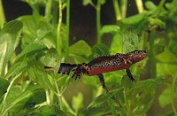Alpine Newt (Triturus alpestris)