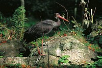 Black Stork (Ciconia nigra)