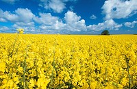 Rape field, Isle of Rugen, Mecklenburg-Western Pomerania, Germany