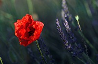 Poppy and Lavender (Papaver rhoeas), (Lavandula spica), Plateau de Valensole, Provence, France