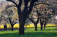 Blossoming Cherry Trees near rape field, Gera, Thueringen, Germany