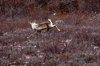 Manitoba, churchill, a young caribou running over the tundra