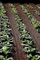 Lettuces, Alboraya. Valencia province, Comunidad Valenciana, Spain (September 2007)
