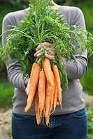 Woman holding bunch of carrots mid section