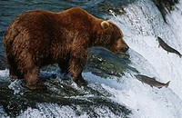 Brown Bear grizzly bear looking at salmon Katmai National Park Alaska USA