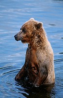 USA Alaska Katmai National Park Brown Bear in water
