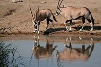 Gemsbok at waterhole, Etosha National Park. Namibia
