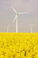Rape field and Wind turbine