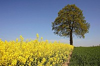 Rape field and Oak tree