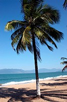 Coconut tree, Beach Martim de S&#225;, Caraguatatuba, S&#227;o Paulo, Brazil