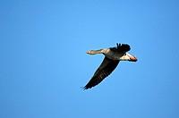 Graylag goose, grey lag goose, Anser anser