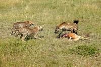 Spotted hyena, and, Cheetah, Crocuta crocuta, Acinonyx jubatus