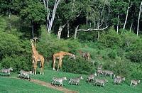 Giraffe, Zebra, Giraffa camelopardalis, Equidae