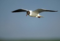 Black_headed gull, Larus ridibundus
