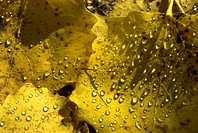 Autumn leaves, Poplar leaves