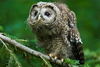 Ural owl, Strix uralensis