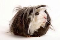 guinea pig,