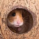 Golden hamster, hamster, Mesocricetus auratus