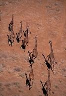 Giraffe, Giraffidae