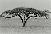 Lone umbrella thorn or acacia tortillis in the grasslands of the Makgadikgadi Pans in Botswana
