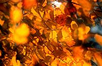 Autumn leaves of Silver Birch, Bavaria, Germany, Betula pendula